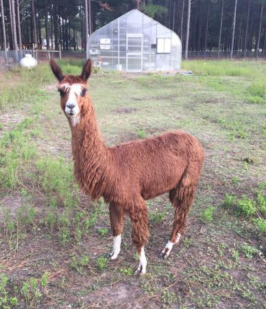 NaVera Farms - Alpaca